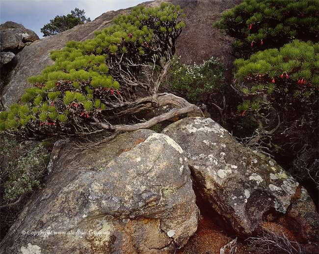 frenchman peak Calothamnus genus cape le grand national park esperance