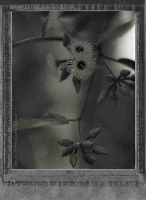 Jarrah blossom and seed pods, Western Australia