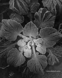 Dune Cabbage (Arctotheca populifolia)