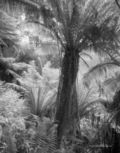 Bull Creek tree ferns