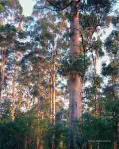 karri forest activities experiences karri forest Brockman State forest Pemberton